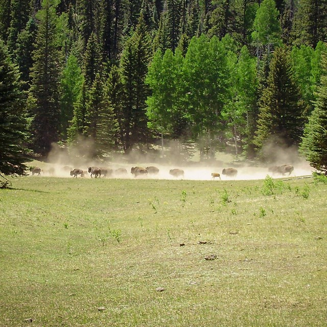 Stampede of bison in grassy meadows by mixed conifer forest. Stampede is clouding area with dust.