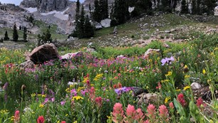 Wildflowers in an alpine meadow with subalpine fir and gray limestone cliffs above.