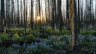 Lavender lupine regenerate in a recently burned lodgepole pine forest. The sun shines through.
