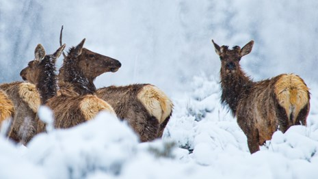 Elk herd in the snow.