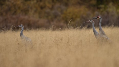 Three tall, gray sandhill cranes walking through dry grass. Two adults behind a juvenile in front.