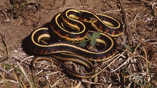 Garter snake with yellow and black stripes and red blotches curled up on twigs.