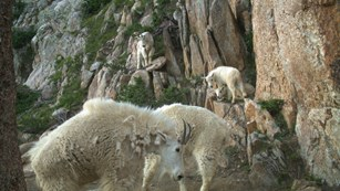 Mountain goat nannies and kids on a rock outcrop with shrubs clinging.