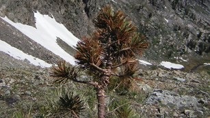 Whitebark Pine needles turned orange due to death by blister rust