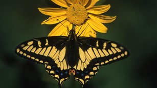Yellow and black swallowtail butterfly that has landed on a yellow composite flower.