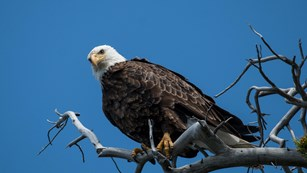 Mature bald eagle with white head and dark body roosting in a dead tree with the blue sky above.