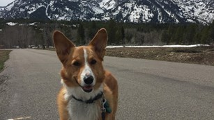 A corgi stands on a paved path with mountains in the background.