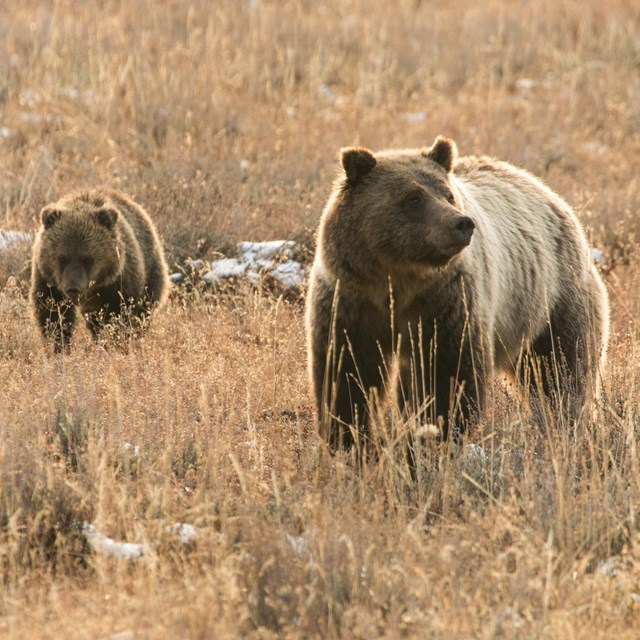 A mother grizzly and cub walk through a field.