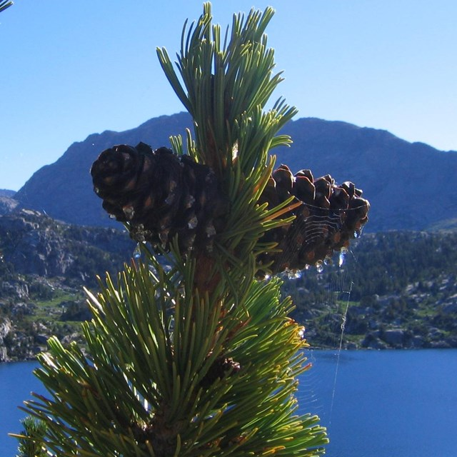 Whitebark pine cones at the top of a branch, with lake in the background.