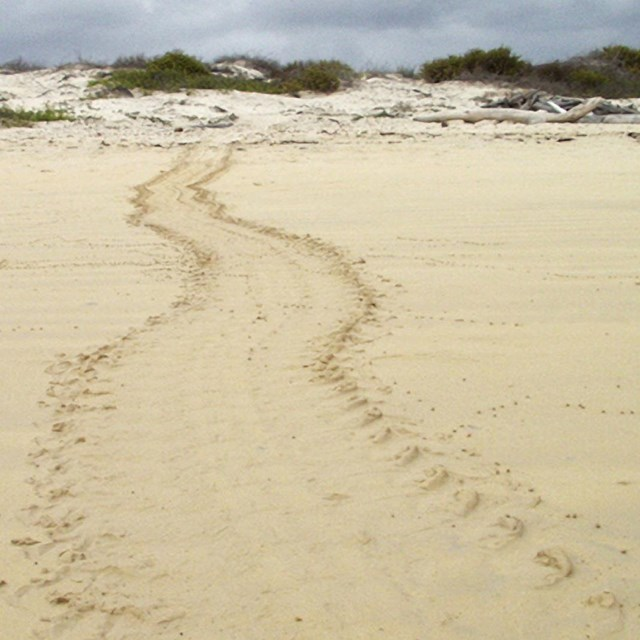 Sea Turtle tracks lead up a sandy beach away from the camera.