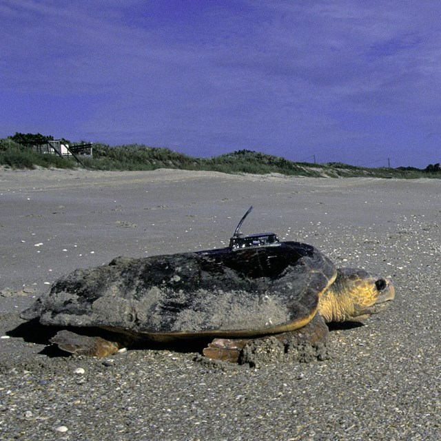 A loggerhead sea turtle with a tracker device attached moves along a sand beach toward water.