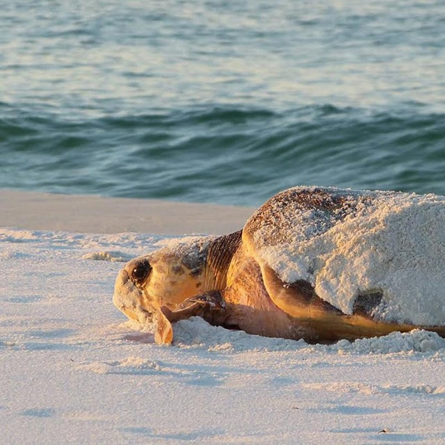 An adult sea turtle craws toward the water on a white sand beach.