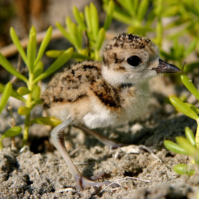 A small wilson's plover chick stands among small plants.