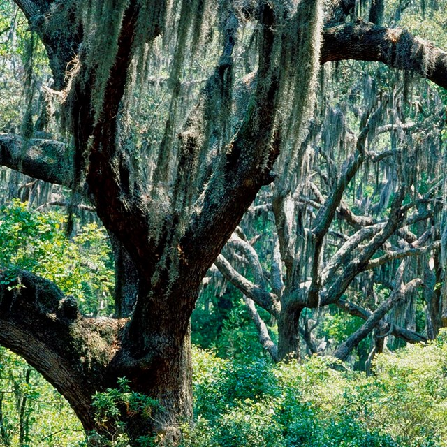 Spanish moss hangs from a stand of live oak trees.