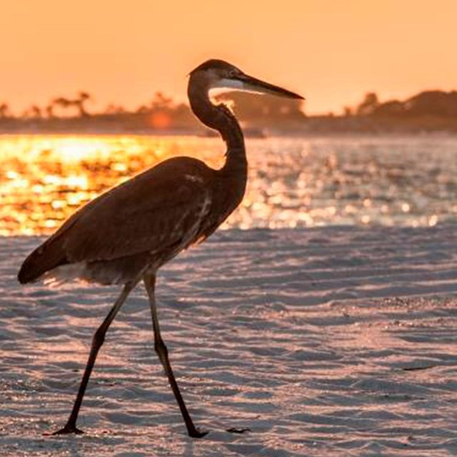 A great blue heron walks on a white sand beach as the sun sets in the background.