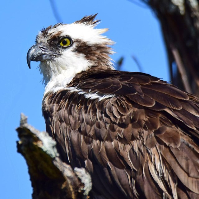 Close up image of an osprey in profile on a tree.