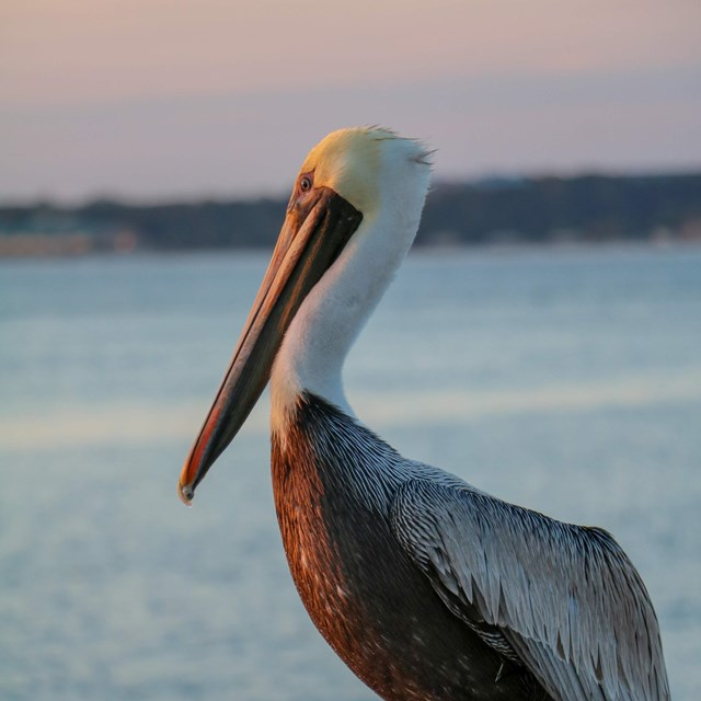 A pelican sits on a piling over water at sunset.