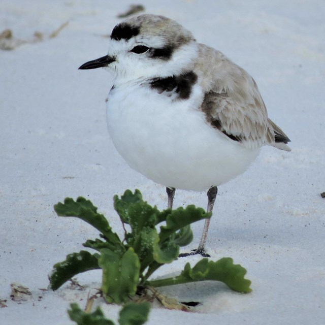 A small white and grey shorebird stands on a white sand beach.