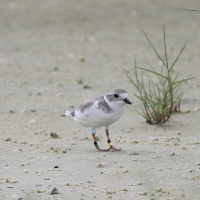 A piping plover stands on a white sand beach surrounded by green vegetation.