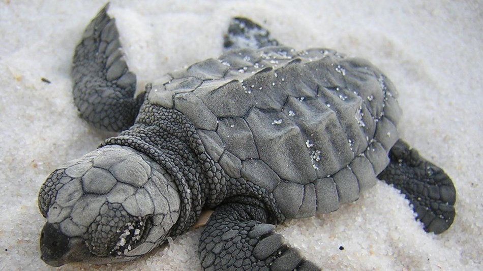 Baby Loggerhead sea turtle