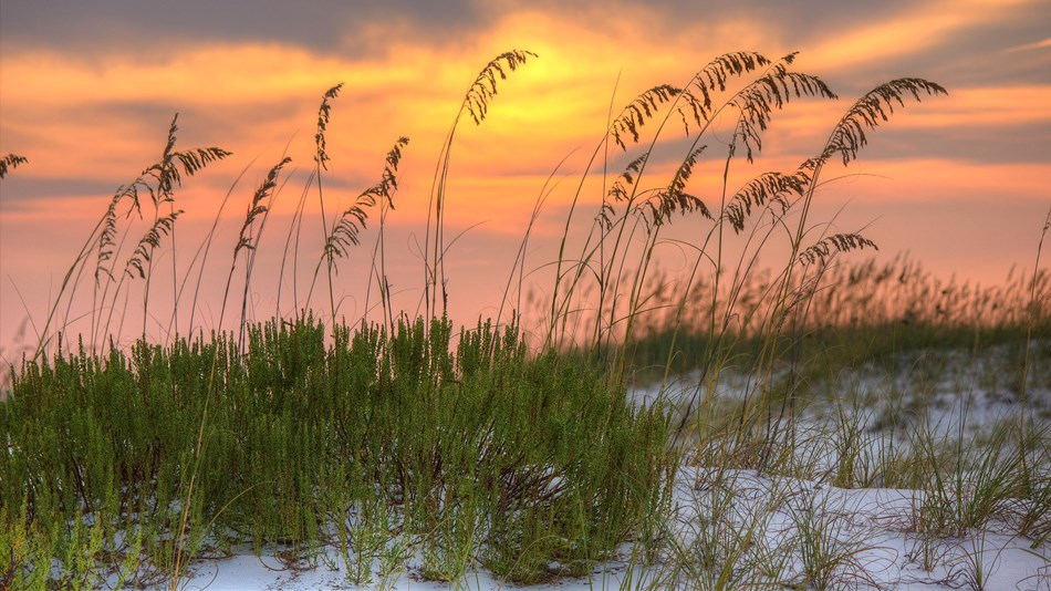 Sea oats on a sand dune at sunset.