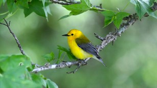 Prothonotary warbler in a sweetgum tree