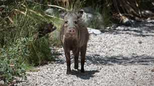 A javelina looks at the camera while standing on the trail.