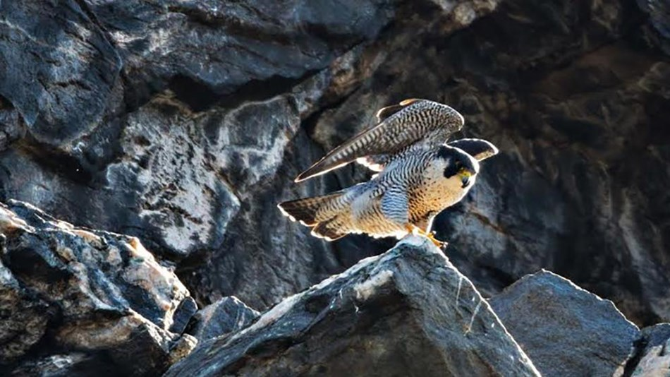 a peregrine falcon perches on a rock ledge with her wings raised