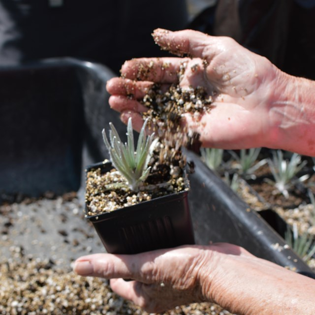 A person repots a silversword sprout