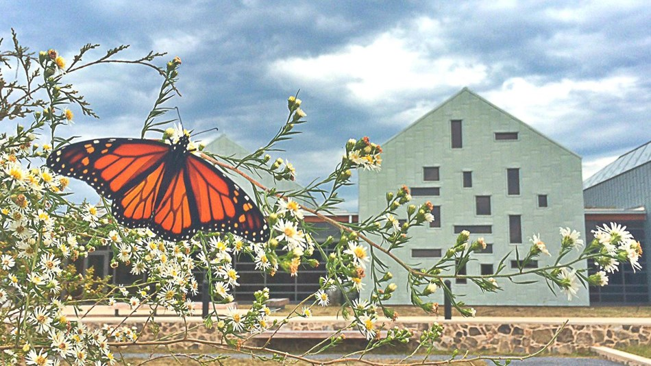 Butterfly on white flowers with visitor center building as backdrop