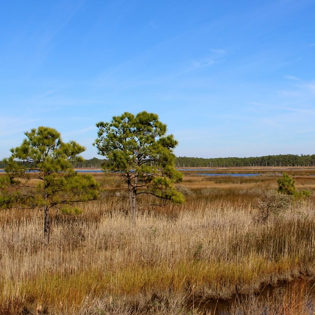Two evergreen trees, with marsh grass surrounding and blue skies above