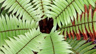 Photo of a cluster of ferns from above