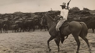 Black and white image of a paniolo on a horse herding cattle