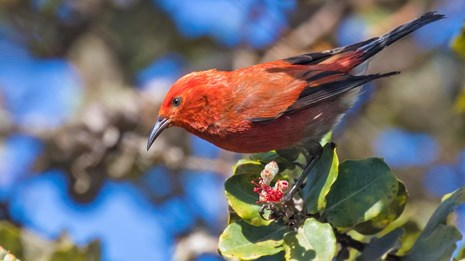 A red apapane bird in a tree
