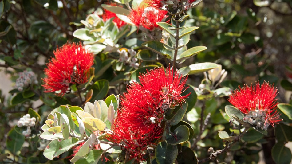 Close up of ʻōhiʻa lehua flowers