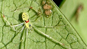 A green happy face spider on a leaf