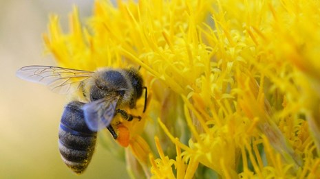 Bee pollinating a yellow flower