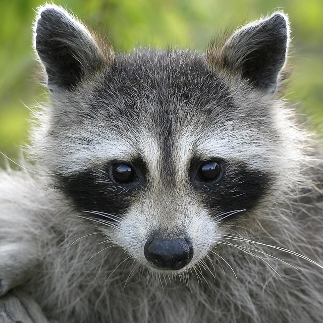 Raccoon in the park
