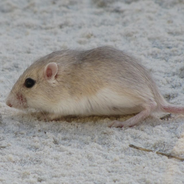 Apache Pocket Mouse