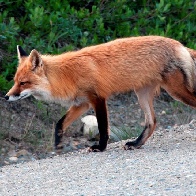 Red fox crossing road