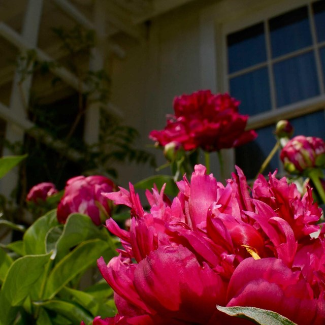 Bright reddish-pink flowers bloom under the window of a white cottage.