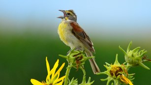 A palm sized dickcissel perches on top of a tall yellow compass plant flower.