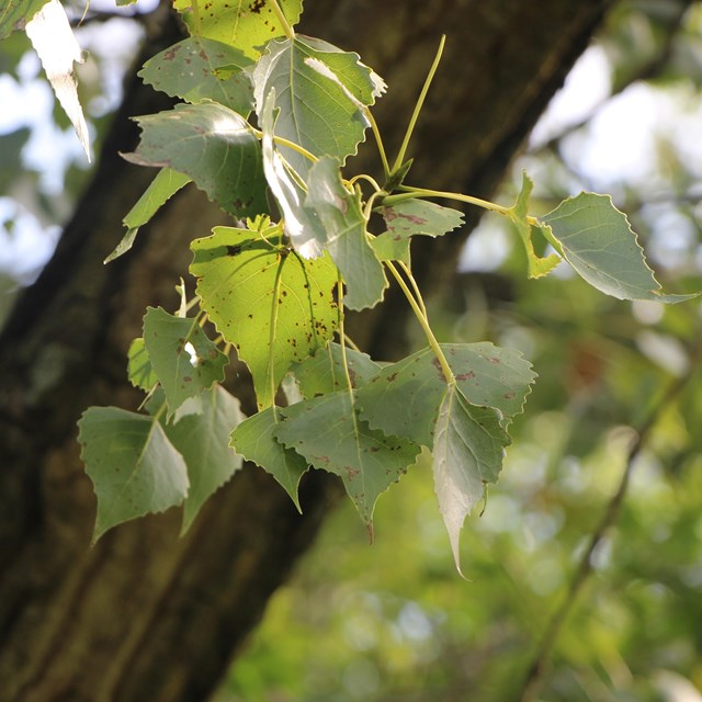 Close up of cottonwood leaves
