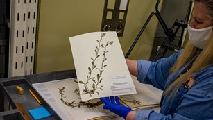 A woman holds a catalogued and preserved plant specimen up while wearing gloves, coat, and mask.