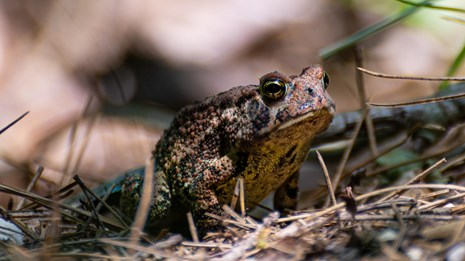 A small brown frog with copper and black spots resting on fallen leaves