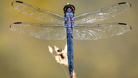 A large vibrant blue dragonfly with extended wings resting on a branch