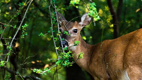 A white tailed deer stands peaceful in the forest.