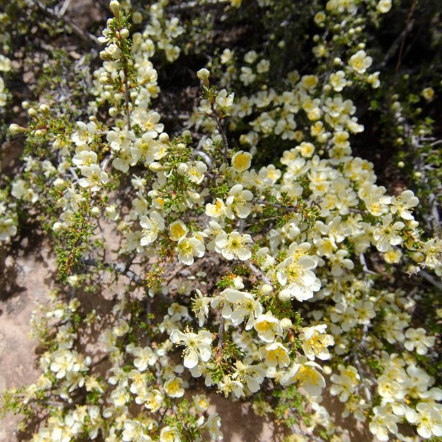 yellow cliffrose blossoms