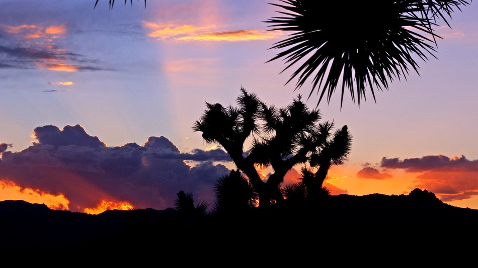 Clouds and joshua trees are backlit by the setting sun