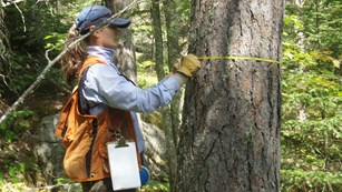 Scientist measuring the circumference of a tree's trunk
